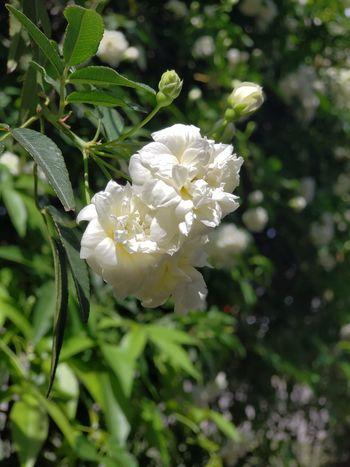 primavera Snowdrop Close-up