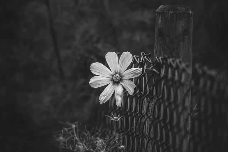 Rafael Classen Flower Flowering Plant Plant Freshness Fragility Vulnerability  Beauty In Nature Petal Close-up Growth Nature Inflorescence Flower Head Fence Barrier Day Focus On Foreground No People Boundary Selective Focus Outdoors Pollen