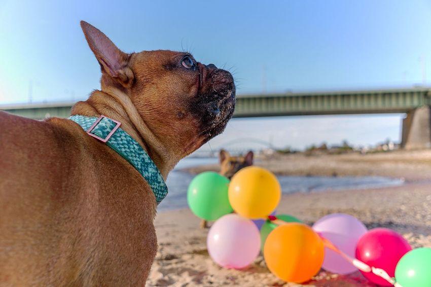 Französische Bulldogge  Hundefotografie Hunde Tierfotografie Dogs Of EyeEm Hundeportrait EyEmselect Düsseldorf Butsosexy Dogs Life Twerk Dogs #hundefoto EyeEm Selects Pets Water Dog Multi Colored Portrait Balloon Sky Close-up