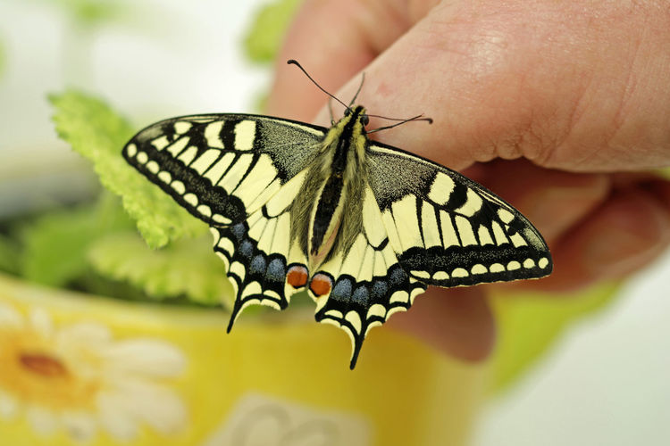 Safe The Insects Swallowtail Swallowtail Butterfly Protection Of Nature Insect Invertebrate Animal Wildlife Animal Themes Animal One Animal Animal Wing Animals In The Wild Close-up Butterfly - Insect Human Hand Beauty In Nature Focus On Foreground Animal Body Part Human Body Part Hand Flower One Person Selective Focus Nature Outdoors Finger Butterfly