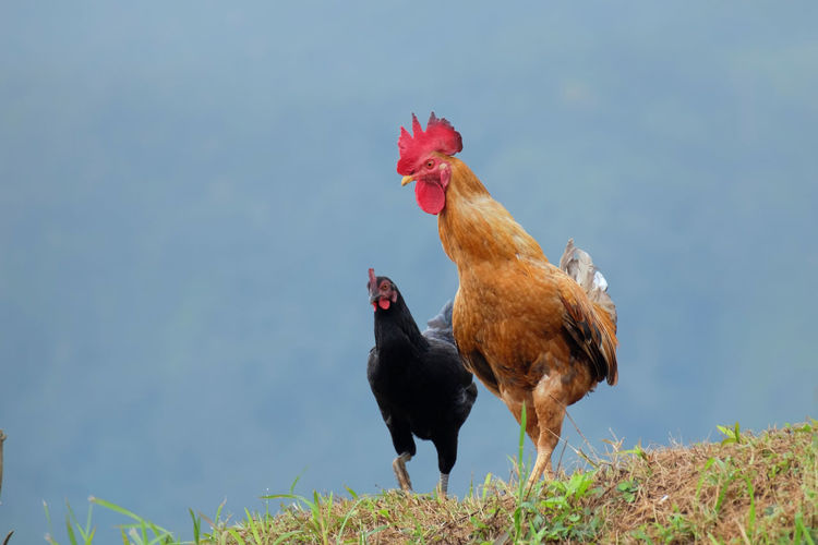 Two chicken,