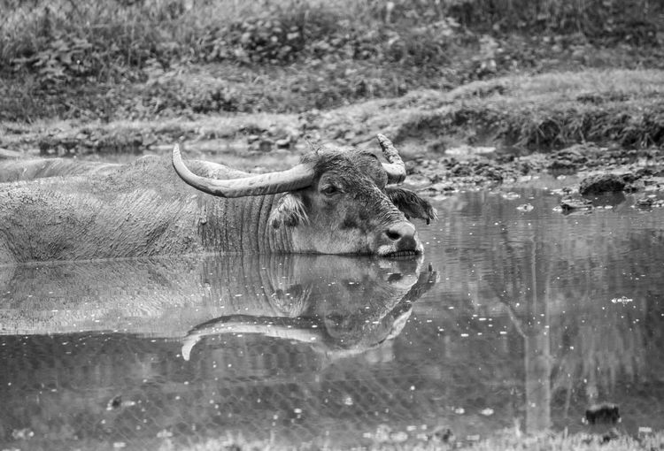 Blackandwhite Oxen Reflection One Animal No People Muddy Water Water Reflections