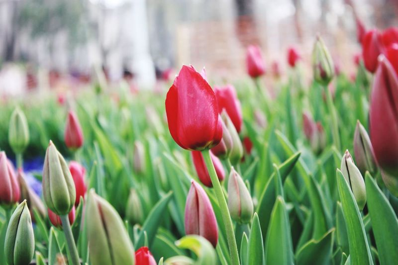 Flowers This Istanbul Turkey Vlog Flower Flowering Plant Plant Beauty In Nature Vulnerability  Fragility Growth Freshness Close-up Tulip Petal Flower Head Inflorescence Red Green Color Nature Outdoors Field No People Land Day Springtime