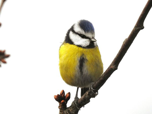 Bird Animal Wildlife Animals In The Wild One Animal Perching Nature Snow Winter Bluetit Tomtit Songbird  Outdoors No People Beauty In Nature Cold Temperature Full Length Close-up Animal Themes Day