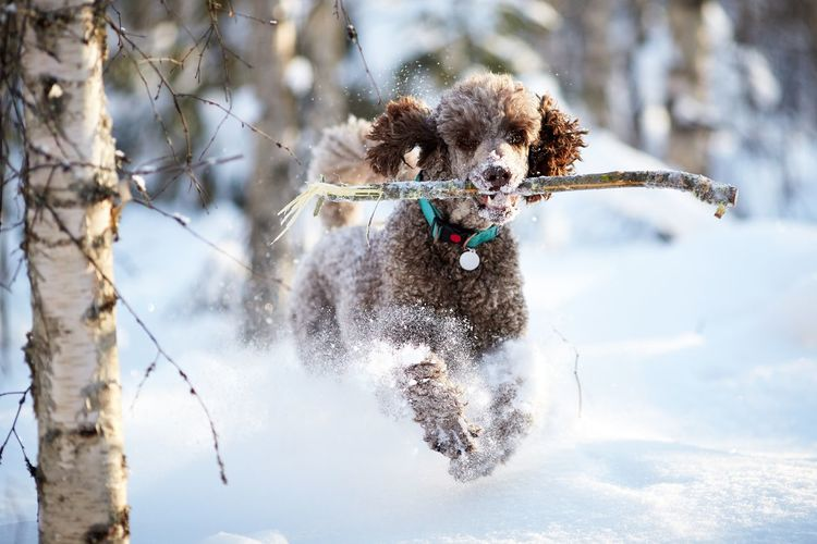 Dog running on snow covered tree