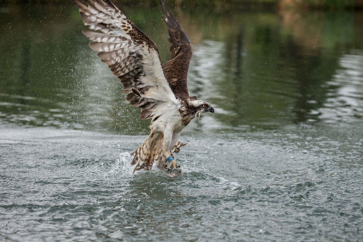 An osprey emerging with a catch