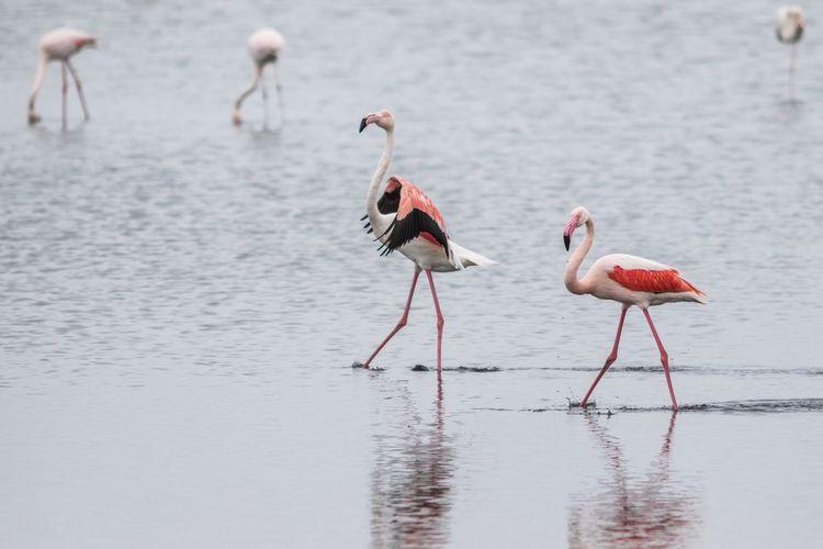 Flamingo birds in the wild