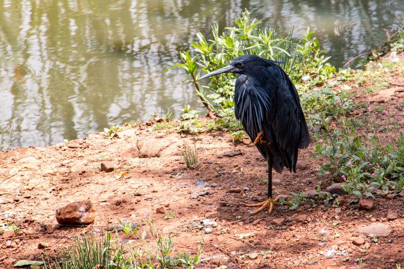 Africa Animal Themes Animal Wildlife Animals In The Wild Animals In The Wild Bird Birds Black Color Lake Nature One Animal Pretoria South Africa Wildlife & Nature