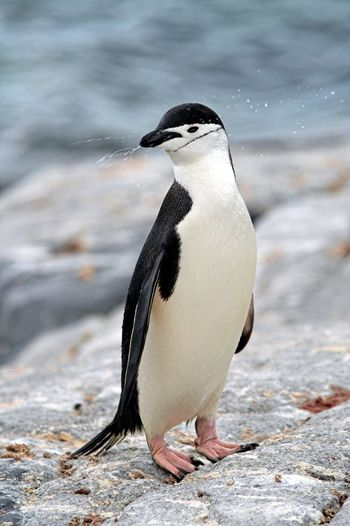 Close-up of chinstrap penguin on rock
