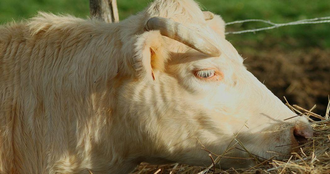 Vaches Taureau Boeuf Agriculture Pourrain Paille Pourrain Yonne Yonnetourisme Grainedenature Igersyonne Igersbourgogne