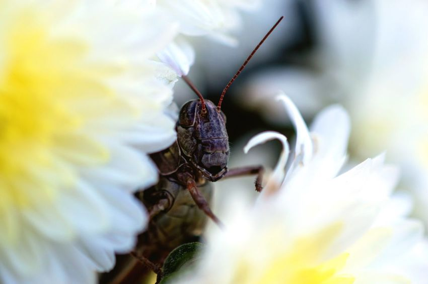 Macro Beauty One Animal Insect Flower Close-up Selective Focus Beauty In Nature No People Grasshopper Insect Nature Grasshopper Grasshopper On Flower Grasshopper Photography