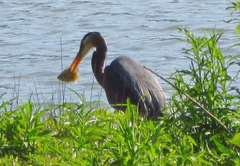 Crane Munchin On Fish Naturelover❤ Natures Beauty Lake Beauty Beauty Everywhere