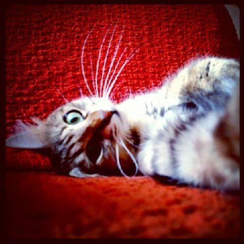 Pettaksi ,Instakedi ,Catsofinstagram ,Petsofinstagram ,instacat,cats,pets,50likes,pussycat,idkwhatothertagishoulduse,bestof,petstagram, bojangles, bojanglestagram,kitty,womp,castagram,cat,meow,tc, gato,kitten,neko,beautiful,cute,love,sweet,random,catlover,funny