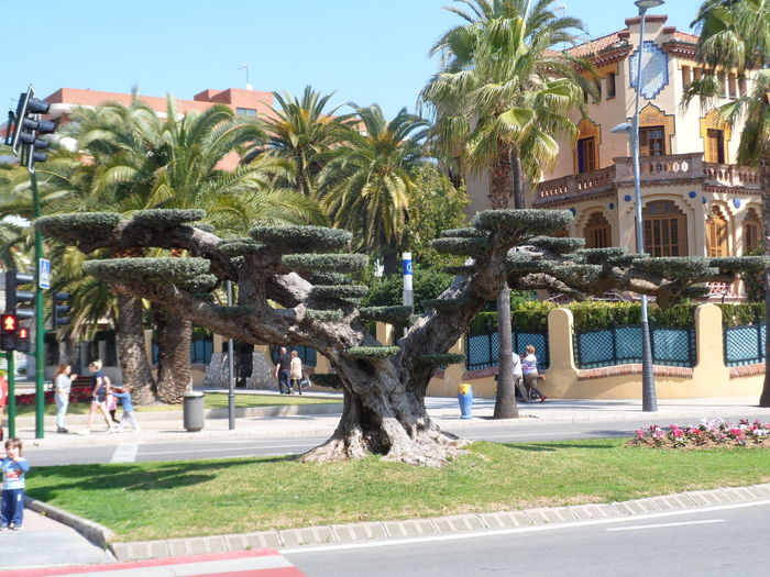 Catalonia Catalunya Cataluña Espana-Spain España España🇪🇸 Rare Tree Salou Tree