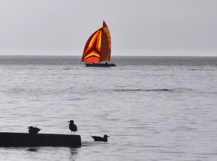 Longing warm breezes ... Water Horizon Over Water Bird Nature Animal Themes Animals In The Wild Clear Sky Scenics Beauty In Nature Outdoors No People Sky Day Colorsplash Lake Ontario Sailboat Colorful Sails