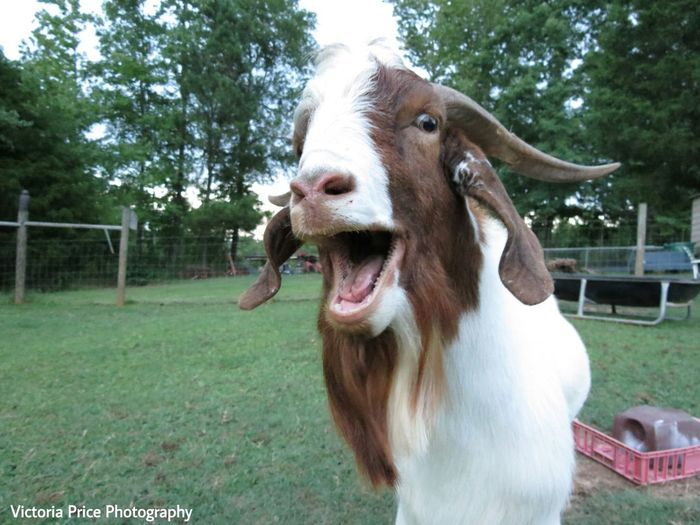 The next Frank Sinatra Cheese! Goat Olaf Olafthegoat Enjoying Life Goat Life Goatsarecool Goats On The Farm Selfie ✌ Too Hot To Handle Goals Check This Out Photography Farm Farming Farm Animals Close Up Farmlife
