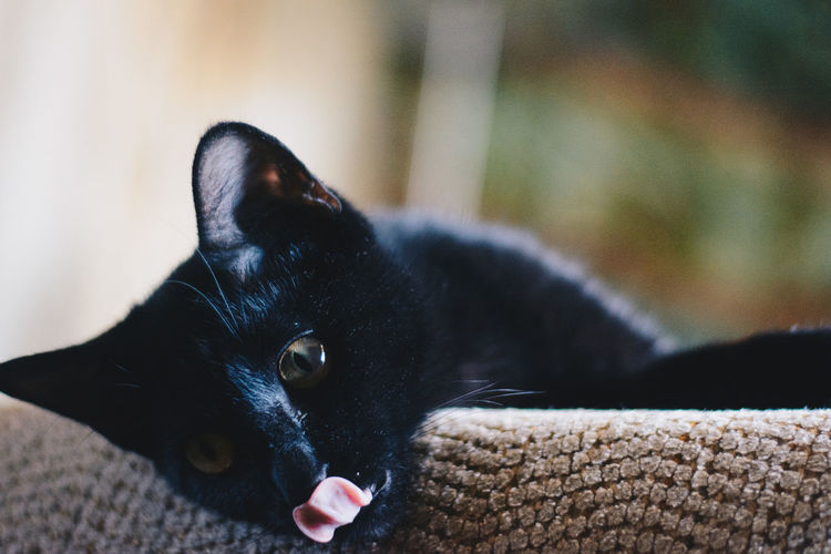 Silly Sookie doing a mlem! Black Cat Animal Themes Black Black Color Black Kitten Cat Close-up Day Domestic Animals Domestic Cat Feline Indoors  Kitten Lying Down Mammal Mlem No People One Animal Pets Tongue Yellow Eyes