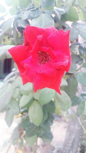 Red Plant Leaf