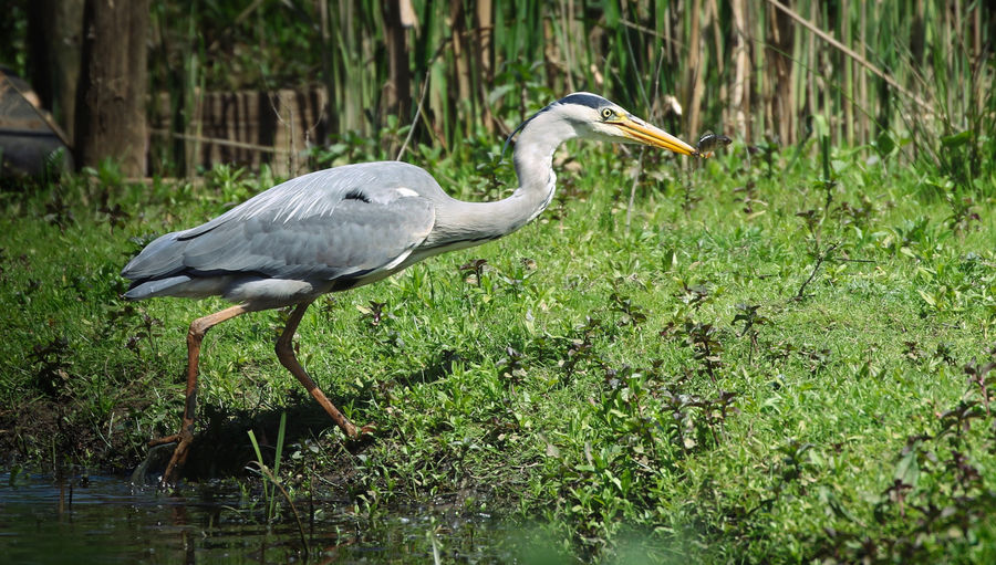 Grey Heron catching Lunch Animal Animal Themes Animal Wildlife Animals In The Wild Beak Bird Day Focus On Foreground Grass Green Color Heron Nature No People One Animal Outdoors Plant Side View Vertebrate Water Water Bird