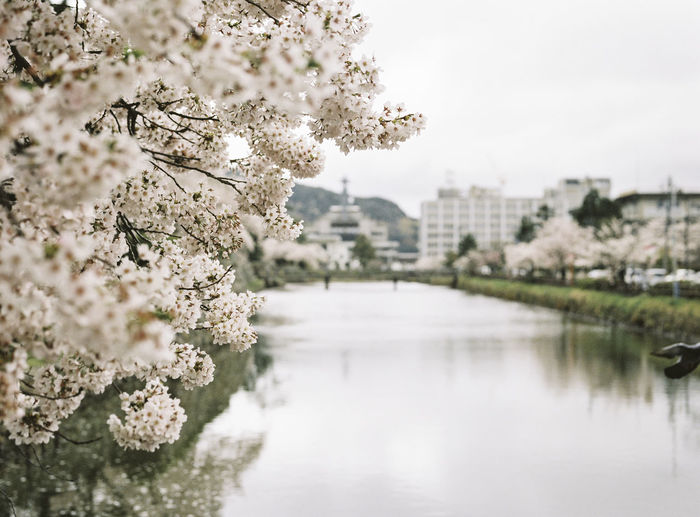 Close-Up Of Cherry Blossom Growing By Lake Against Clear Sky