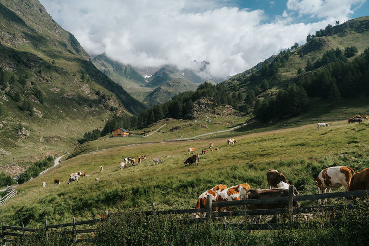 Panoramic view of cows on landscape against mountains