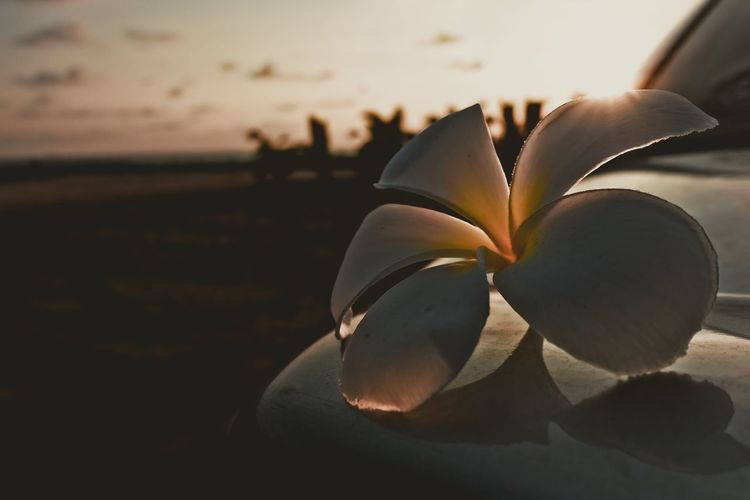 Close-up of frangipani blooming against sky during sunset