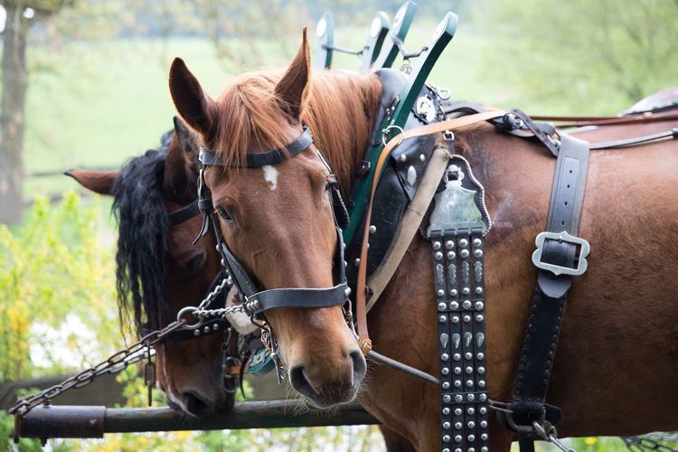 Animal Themes Animal Horse Domestic Animals Animal Wildlife Domestic Mammal Livestock Pets Focus On Foreground Brown Bridle Vertebrate Working Animal Day Horse Cart Cart Group Of Animals Two Animals Herbivorous