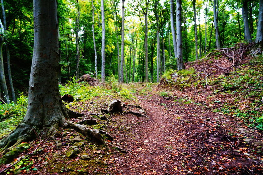 Forest path Autumn Hiking Path Beauty In Nature Day Forest Growth Landscape Nature No People Outdoors Pilis Pilisszántó Scenics Tranquil Scene Tranquility Tree Tree Trunk WoodLand