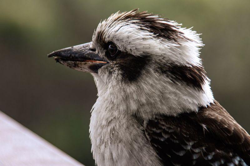 Close up, australian kookaburra, in profile