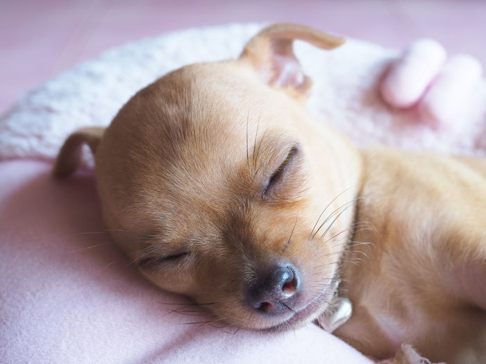 Close-up of puppy resting on bed