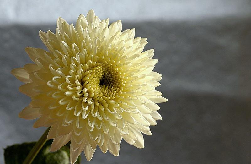 Close-Up Of White Dahlia Flower