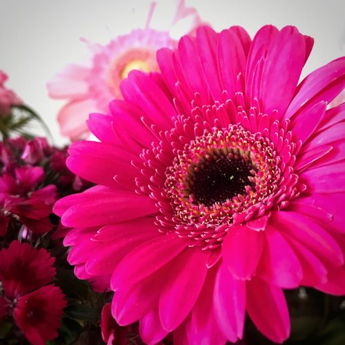Thank you flowers 🌺 Flower Beauty In Nature Flower Head Close-up Flower Photography Pink Flower Pink Gerbera Daisy