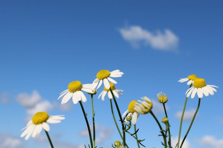 Flower Fragility Nature Petal Flower Head Yellow Plant Growth Blue Beauty In Nature Freshness Sky Wildflower Cloud - Sky Close-up No People Day Outdoors Summer Netherlands Kamille Kamillenblüten Madeliefje  Happyflowers Blue Sky