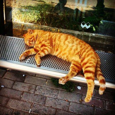 Baba Yorgun  Siesta Yapio otobusduraginin reisi istanbul kedi cat trafo kedi relax life like4like hisarustu instacollage instacool instamood vscocam like sari tekir