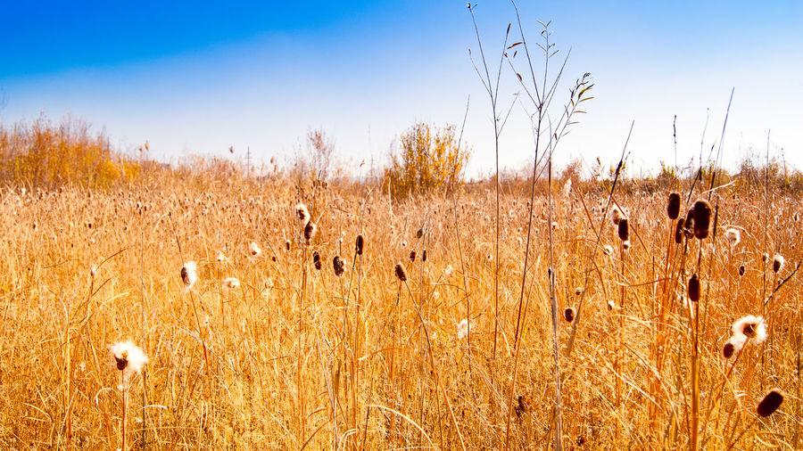 Autumn Cane Dry