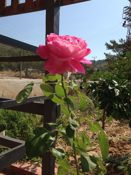 Garden. Rose. Pink.