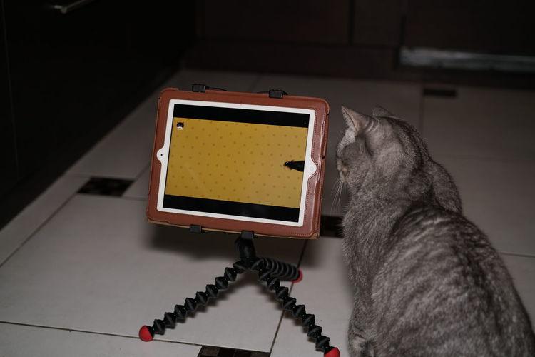 Apple British Shorthair Cat Cats Domestic Animals Domestic Cat Ipad Mice Mouse Pet Technology