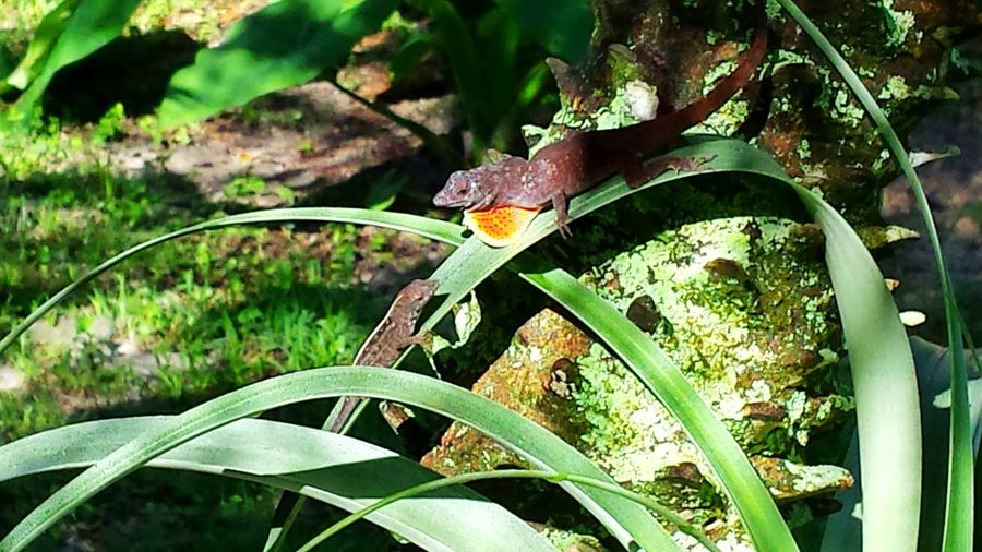 Lizards Lizard Love Wildlife & Nature Animal Themes Backyard Critters Sun And Shadow Orange And Green 43 Golden Moments