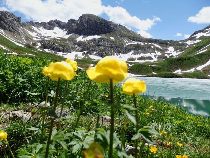 Allgäu Allgäuer Alpen Allgäuer Landschaft Schrecksee Alpen Flower Mountain Yellow Nature Beauty In Nature Uncultivated Plant