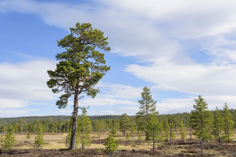 Pine tree on field against sky