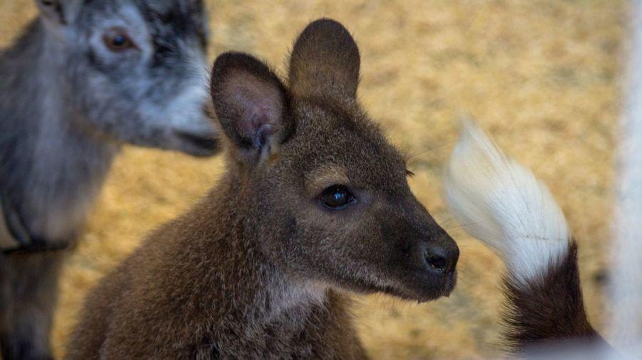 Wallaby State Fair Wallaby Mammal Animal Animal Themes No People Close-up Animal Wildlife Animal Head