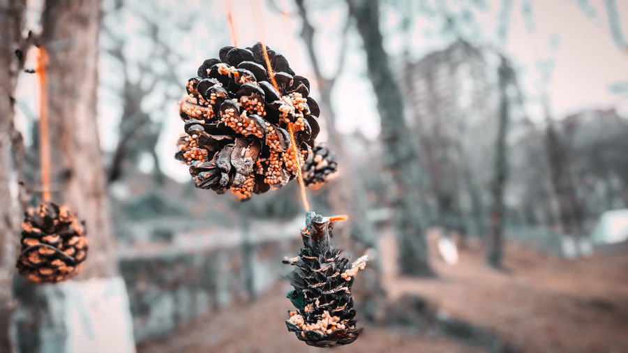 Close-up of pine cone on plant during winter