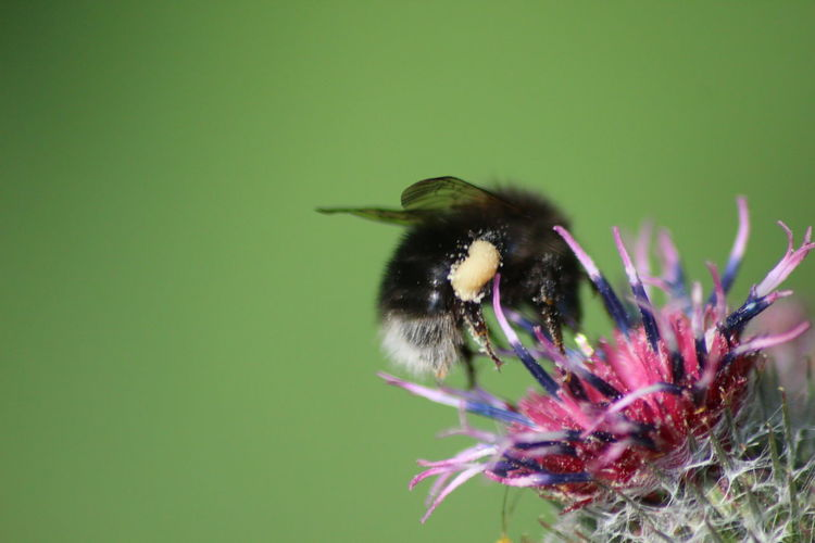 Bumblebee at