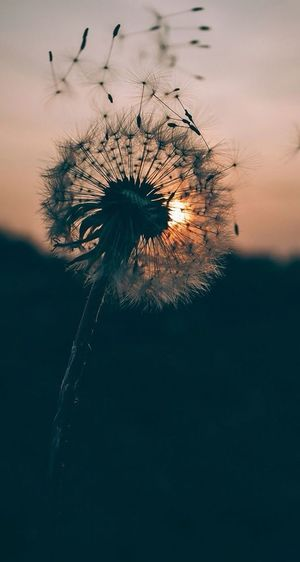 Flower Sunset Nature Fragility Silhouette No People Beauty In Nature Outdoors Close-up Day Flower Head Sky Freshness