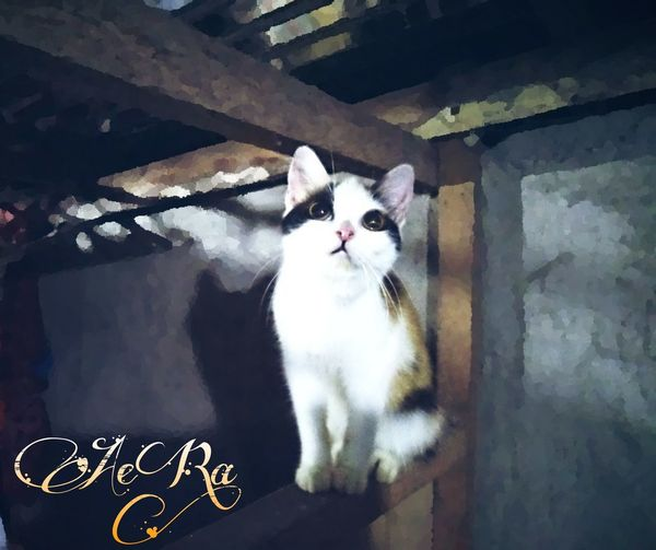 Adorable AeRa! Persian x Non Standard Munchkin Persian Cat  Pets Indoors  Feline Feline Photography, Feline Eyes