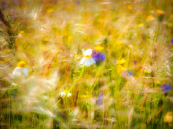 Daisy In Bloom Blooming Botany Blossom Petal