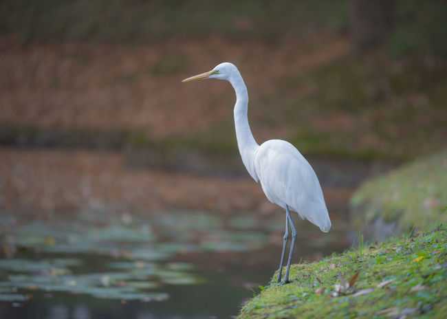 Great egret perch along the pond. Japan Japan Photography Japanese Culture Nature Nature Photography Pond Animal Themes Animal Wildlife Animals In The Wild Beauty In Nature Bird Close-up Crane - Bird Day Egret Great Egret Heron Nature Nature_collection No People One Animal Outdoors Perching Water White Color