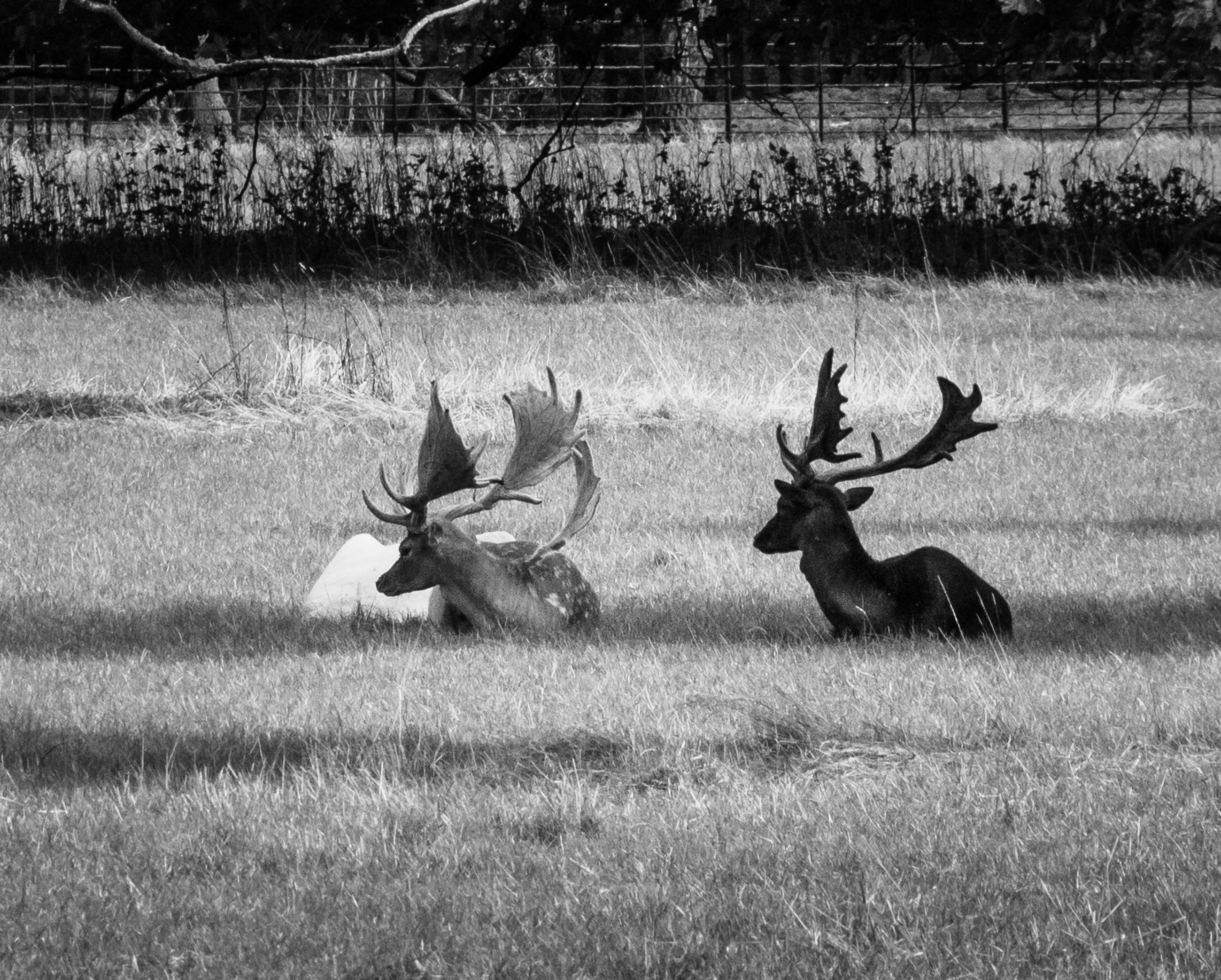 animal, animal themes, animal wildlife, group of animals, mammal, antler, animals in the wild, grass, deer, field, plant, land, two animals, vertebrate, nature, day, no people, environment, landscape, outdoors, herbivorous