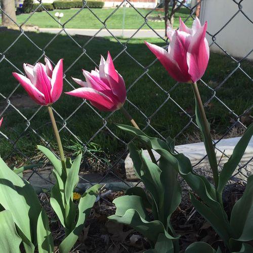 Chatting Tulips
