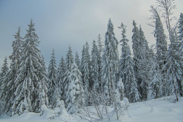 Spruce Trees Covered by Heavy Snow. Forest Winter Landscape. Tree Winter Cold Temperature Snow Plant Beauty In Nature Tranquility Land Covering Tranquil Scene Nature No People Forest Scenics - Nature Non-urban Scene Frozen Day Growth Environment Outdoors Coniferous Tree Pine Tree